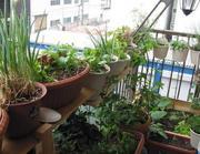 家庭菜園1.jpg